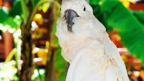 Witte papegaai, het portret van //van de kaketoevogel van een papegaai stock afbeelding