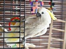 Witte papegaai met gele kam stock foto's