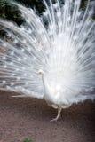 Witte pauw Stock Afbeeldingen