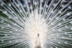 Witte pauw Royalty-vrije Stock Foto's
