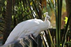 Witte pauw Royalty-vrije Stock Foto
