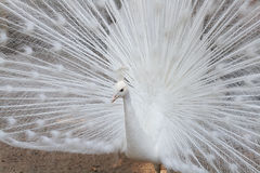 Witte pauw Royalty-vrije Stock Afbeeldingen