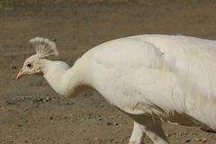 Witte pauw royalty-vrije stock afbeelding