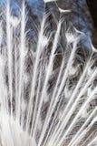 Witte pauwveren als achtergrond Royalty-vrije Stock Afbeelding