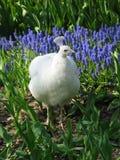 Witte Peafowl in de lenteweide Stock Foto