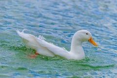 Witte Pekin-Eend die in een meer zwemmen royalty-vrije stock foto's
