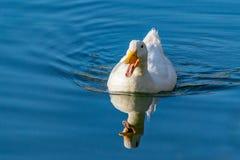 Witte pekineend die op een nog duidelijke vijver met bezinning in het water zwemmen royalty-vrije stock fotografie
