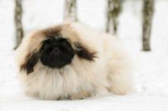 Witte pekinese hond bij sneeuw Royalty-vrije Stock Fotografie