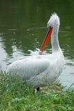 Witte pelikaan Royalty-vrije Stock Afbeeldingen
