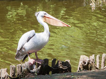 Witte pelikaan Stock Afbeeldingen