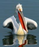 Witte pelikaan royalty-vrije stock fotografie