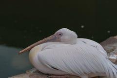 Witte pelikaan Stock Foto's
