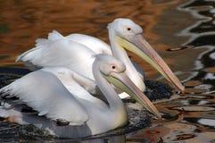Witte pelikaan Royalty-vrije Stock Foto