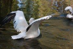 Witte pelikaan Royalty-vrije Stock Foto's