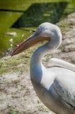 Witte pelikaan Stock Foto