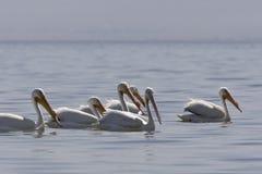 Witte Pelikaan, amerikansk vit pelikan, Pelecanuserythrorhyncho royaltyfri fotografi