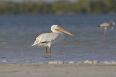 Witte Pelikaan, amerikansk vit pelikan, Pelecanuserythrorhyncho arkivfoton
