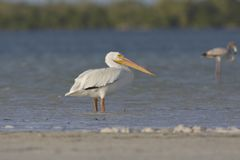 Witte Pelikaan, Amerykański Biały pelikan, Pelecanus erythrorhyncho zdjęcia stock