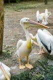 Witte pelikaan In de dierentuin stock foto's