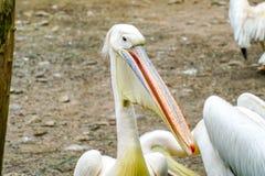 Witte pelikaan in de dierentuin stock afbeeldingen