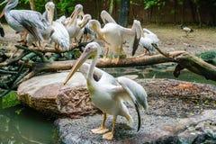 Witte pelikaan in de dierentuin royalty-vrije stock afbeeldingen