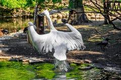 Witte pelikaan in gevangenschap, witte pelikaan bij de dierentuin royalty-vrije stock afbeelding