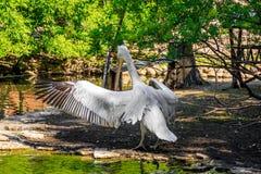Witte pelikaan in gevangenschap, witte pelikaan bij de dierentuin royalty-vrije stock afbeeldingen