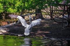 Witte pelikaan in gevangenschap, witte pelikaan bij de dierentuin stock afbeeldingen