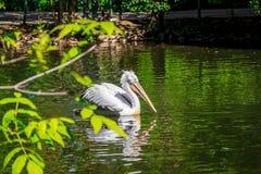 Witte pelikaan in gevangenschap, witte pelikaan bij de dierentuin stock foto's