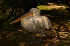 Witte pelikaan in het park Stock Foto
