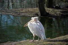 Witte Pelikaan (Pelecanus-onocrotalus) Stock Foto's