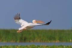 Witte pelikaan tijdens de vlucht Royalty-vrije Stock Afbeeldingen