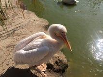 Witte pelikaanzitting door water royalty-vrije stock afbeelding