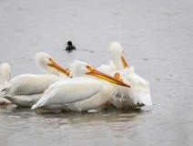 Witte pelikanen Royalty-vrije Stock Foto's