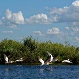 Witte pelikanen stock afbeeldingen