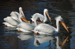 Witte pelikanen Stock Foto