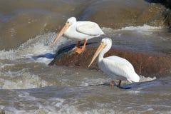 Witte pelikanen Royalty-vrije Stock Afbeelding