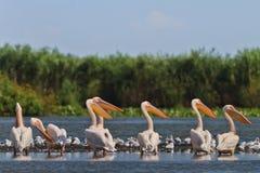 Witte pelikanen Stock Afbeelding
