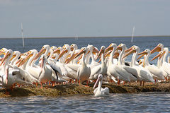 Witte pelikanen Royalty-vrije Stock Fotografie