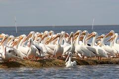 Witte pelikanen Royalty-vrije Stock Afbeeldingen