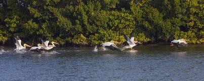 Witte Pelikanen die vlucht nemen Stock Afbeeldingen