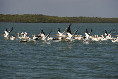 Witte pelikanen die vlucht over oceaan nemen Stock Fotografie