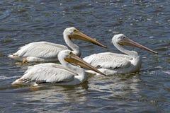 Witte Pelikanen (Pelecanus-erythrorhynchos) Stock Afbeeldingen