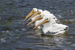 Witte Pelikanen (Pelecanus-erythrorhynchos) Royalty-vrije Stock Fotografie
