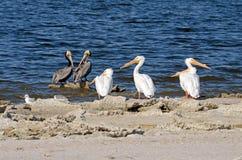 Witte Pelikanen (Pelecanus-erythrorhynchos), Bruine Pelikanen (Pele Stock Foto's