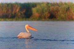 Witte pelikanen (pelecanusonocrotalus) Royalty-vrije Stock Fotografie