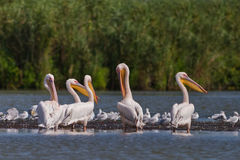 Witte pelikanen (pelecanusonocrotalus) Stock Foto's