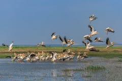 Witte pelikanen (pelecanusonocrotalus) Royalty-vrije Stock Afbeeldingen