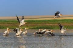Witte pelikanen (pelecanusonocrotalus) Stock Foto