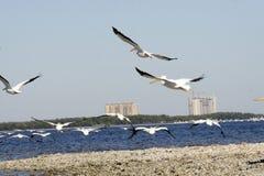 Witte Pelikanen tijdens de vlucht Stock Foto